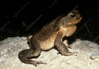Giant toad