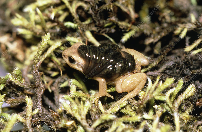 Colostethus, a male frog carrying tadpoles on back