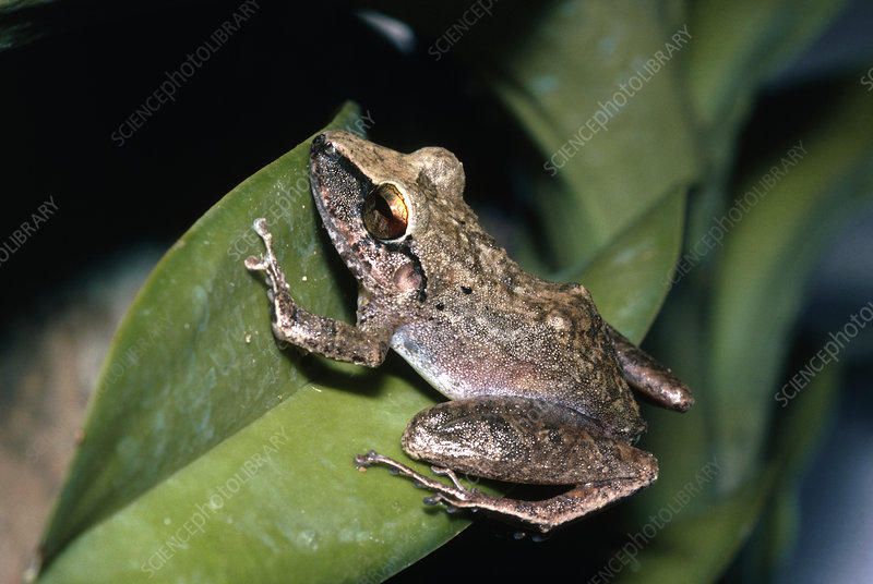 Whistling-quacking frog