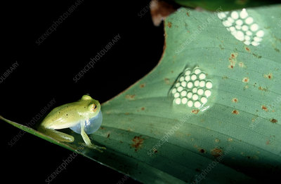 Glass frog and eggs