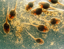 Tadpoles at approximately six weeks old