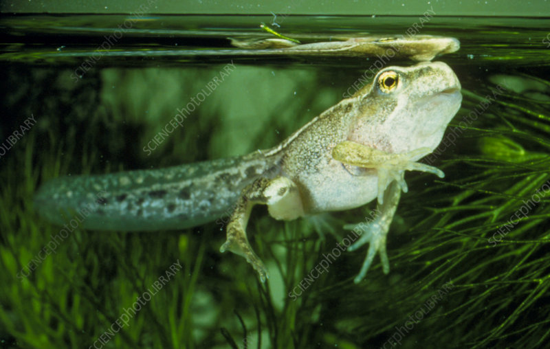 Frog tadpole breathing air at pond surface