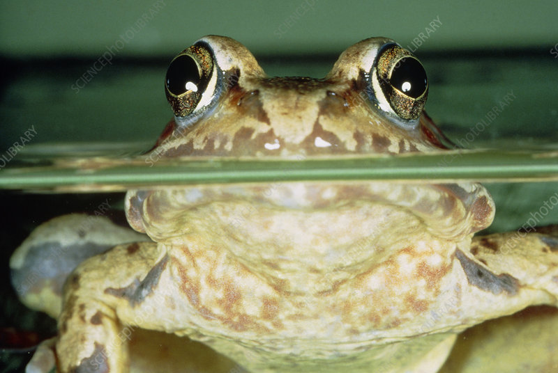 Common frog floating with its head above the water