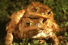 European toads mating