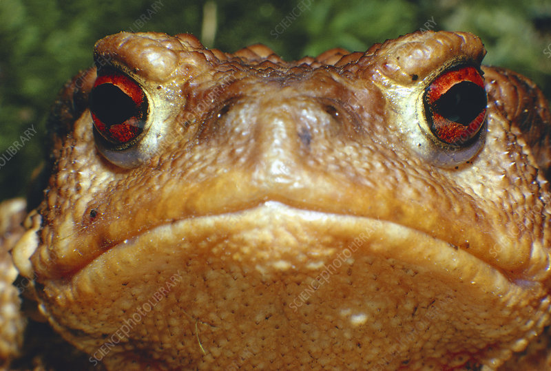 Close-up of the head of the European toad