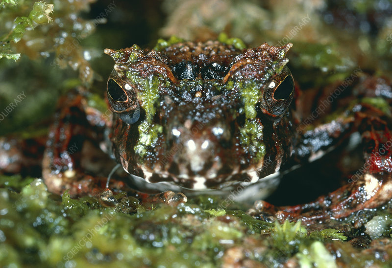 Madagascan frog which mimics moss-covered ground