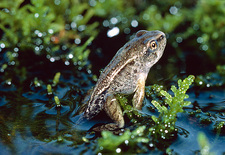 Young frog emerging from pond after metamorphosis