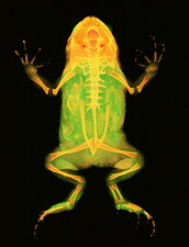Toad, X-ray