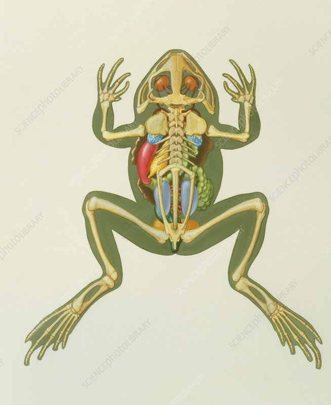 Artwork of the internal anatomy of a frog