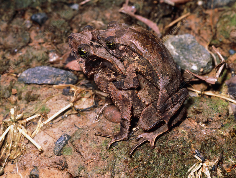 View of Bufo typhonius toads mating