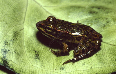 Young leopard frog