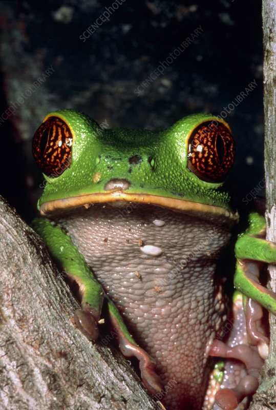 Reticulate eye monkey frog