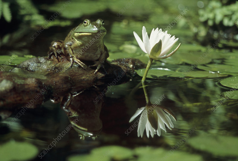 Bullfrog and a water lily
