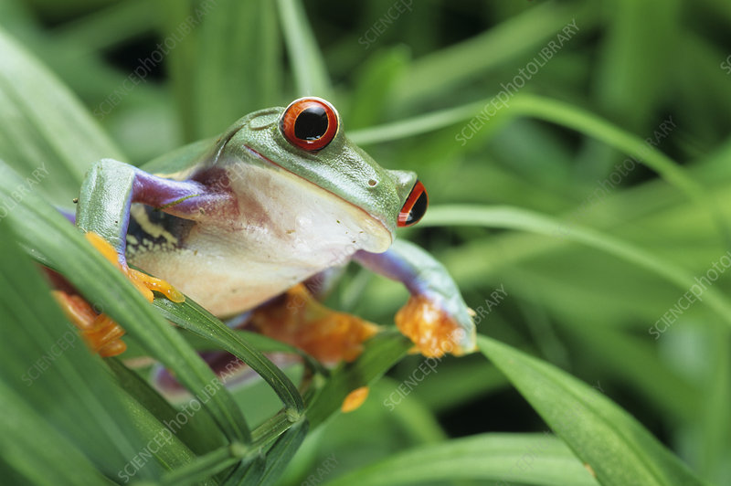 Red-eyed tree frog - Stock Image Z700/0545 - Science Photo ...