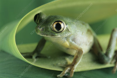 Giant forest tree frog
