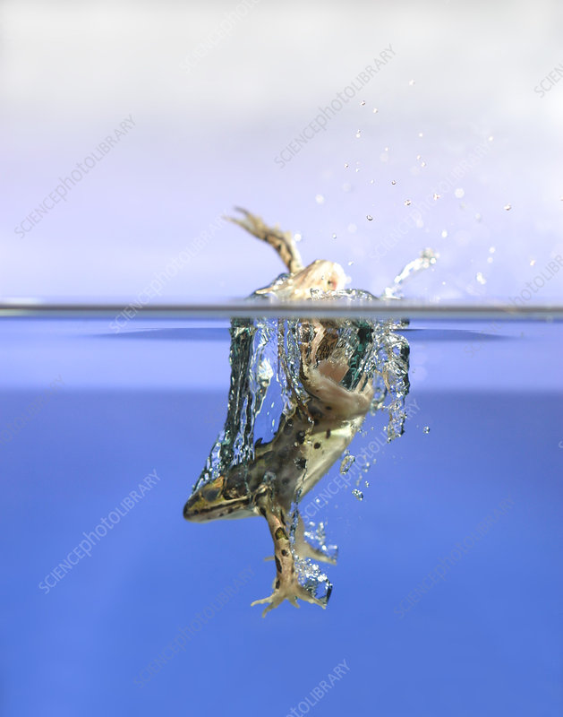 Frog jumps into water