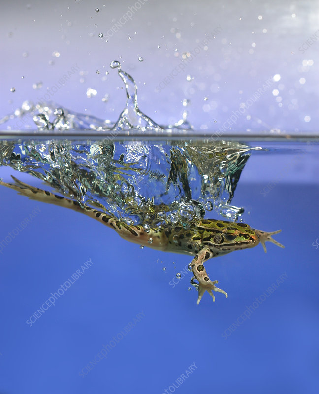 Frog jumps into water - Stock Image - Z700/0573 - Science Photo Library