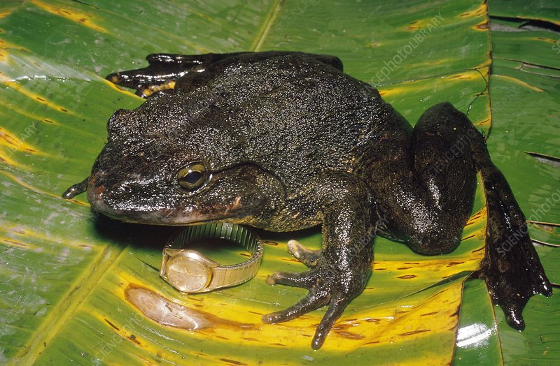 Goliath Toad