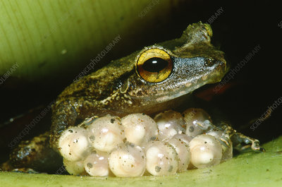 Frog guarding his eggs