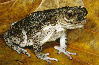 Puerto Rican Crested Toad