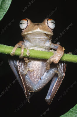 Blue-flanked Tree Frog