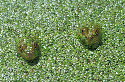 American bullfrogs in duckweed