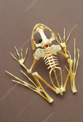 Skeleton of California red-legged frog