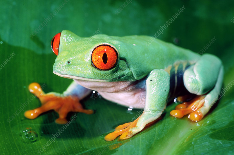 Red-eyed Green Tree Frog, Central America