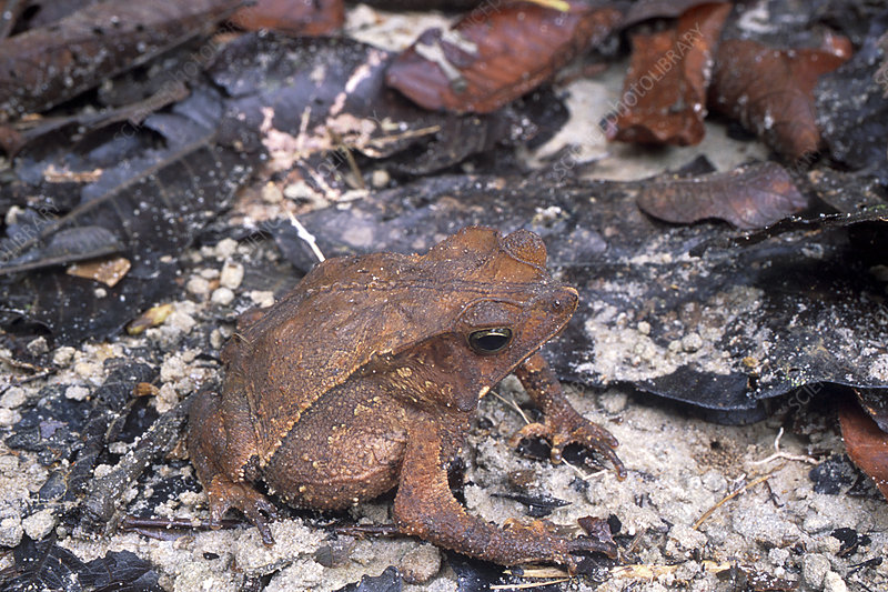 Sharp-nosed toad
