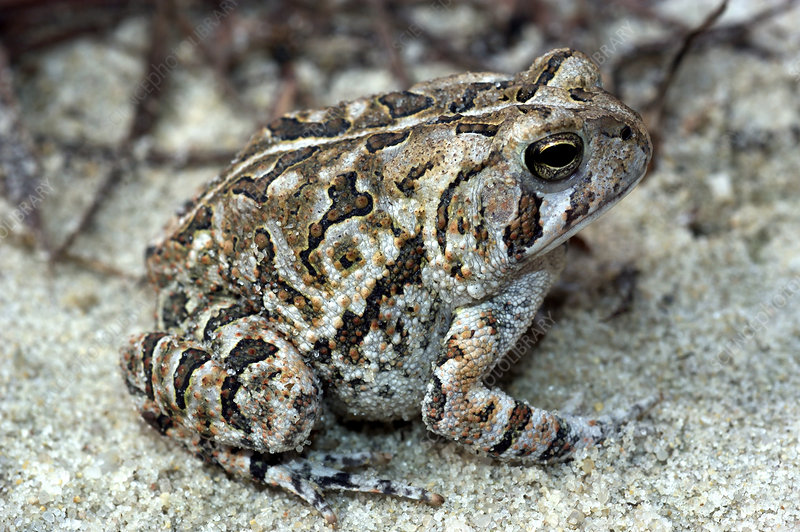 Fowlers Toad (Bufo woodhousei fowleri)