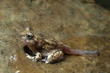 Great Basin Spadefoot Toad tadpole (4 of 5)