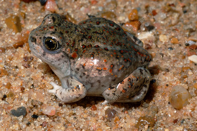 Great Basin Spadefoot Toad (5 of 5)