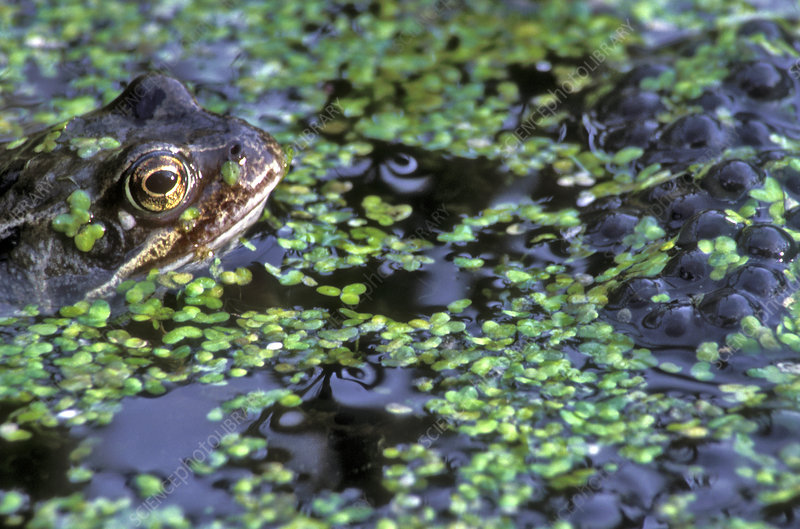 Frog laying frog spawn