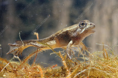 California Red-Legged Frog Tadpole