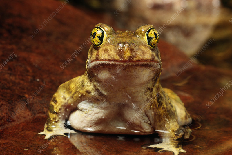 Couchs Spadefoot Toad