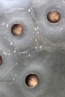 Cleavage in frog eggs