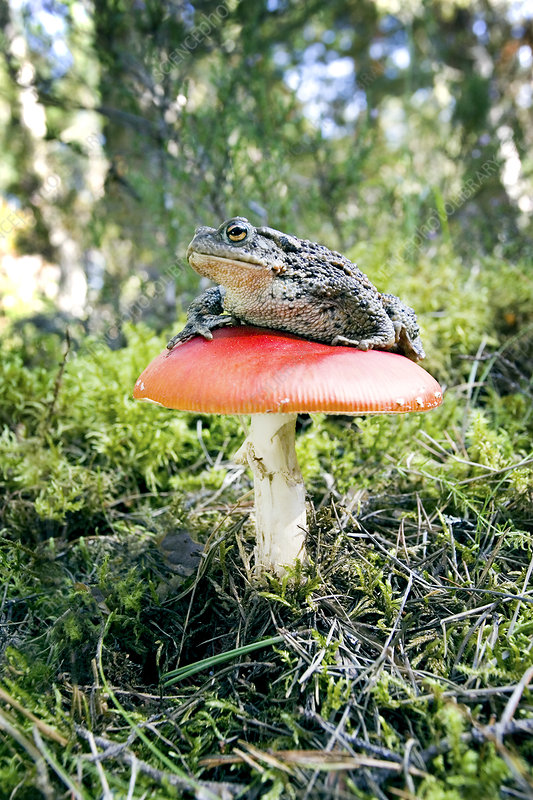 Toad on red toadstool