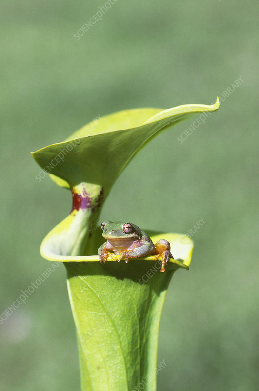Barking Tree Frog on Pitcher Plant