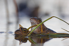 Common frogs mating