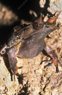 Malayan Horned Frog