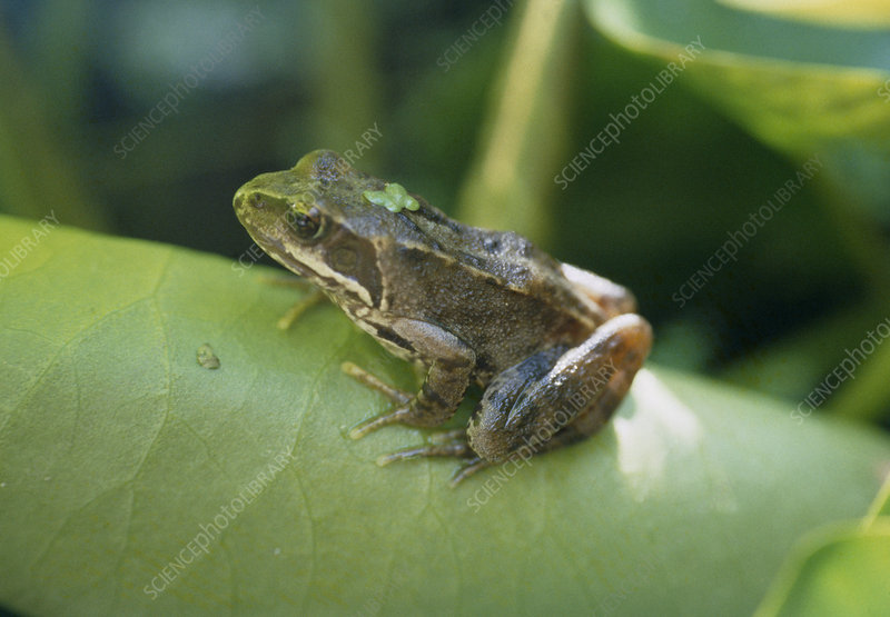 Common frog on a leaf