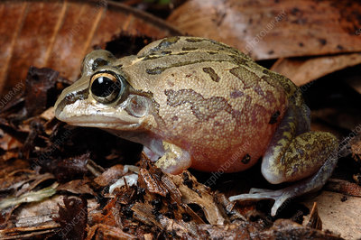 Superb Collared Frog (Cyclorana breviceps)