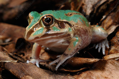 'Eastern Snapping Frog, Australia'