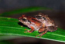 Bush frogs mating