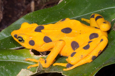 Harlequin Toad