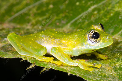 Yellow Spot Glass Frog