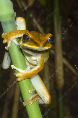 Large Arboreal Hylid Frog