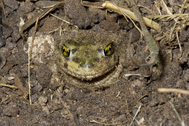 Couch's Spadefoot Toad Burying Itself