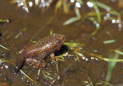 Mountain Yellow-legged Frog with partial tail