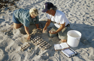 Conservationists collect sea turtle eggs